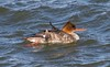 7K8A7271 (rpealit) Tags: scenery wildife nature barnegat lighthouse state park redbreasted merganser bird duck