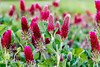 11:52 Fields of Flowers (Woodlands Photog) Tags: wildflower texas crimson clover nature