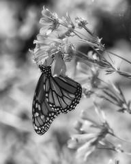 MonarchButterfly_SAF4515_2_DxO (sara97) Tags: monochrome bw blackandwhite blackwhite butterfly monarchbutterfly insect photobysaraannefinke saintlouis missouri danausplexippus copyright©2017saraannefinke