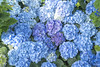 feeling blue (Deb Felmey) Tags: blue flowers hydrangea flower longwood longwoodgardens colors spring