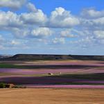 Presseguers florits, Carrassumada, Torres de Segre, Lleida thumbnail