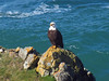 Bald Eagle at God's Thumb Hike in OR (Landscapes in The West) Tags: godsthumb thumb hike oregon pacificcoast pacificocean pacificnorthwest forest baldeagle