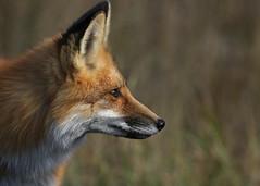 Red Fox...#25 (Guy Lichter Photography - 3.9M views Thank you) Tags: canon 5d3 canada manitoba whiteshellprovincialpark wildlife animals mammal mammals fox redfox