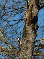 Pic épeiche (Pauline Moinereau) Tags: bird dendrocoposmajor greatspottedwoodpecker oiseau picépeiche picidae picidé piciforme