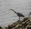 Fishing (ruthlesscrab) Tags: harbourside northvancouver bc canada heron