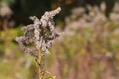 Meadow Goldenrod (peterkelly) Tags: digital canon 6d ontarionature caledon ontario canada northamerica willoughbynaturereserve fall autumn goldenrod seeds seed