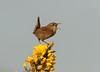 Wren (Woodpecker G :)) Tags: wren saintaidens gorsebush
