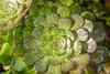 After the Rain (Jill Clardy) Tags: flowering flowers succulent 201803224b4a8750edit rain drops green 365the2018edition 3652018 day81365 22mar18 macro