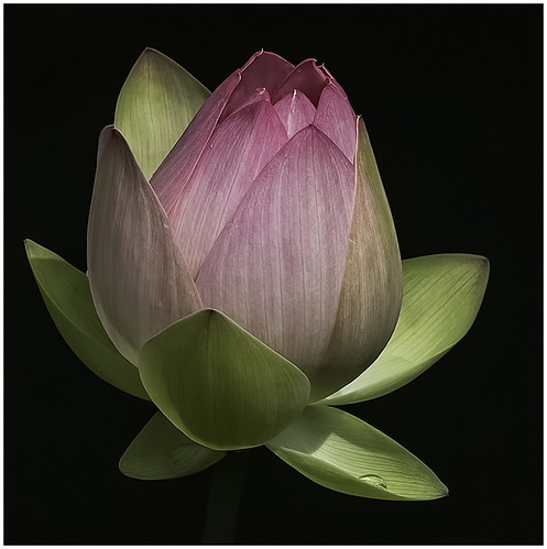 34 - Lotus Bud by Barbara Dunn