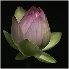 34 - Lotus Bud by Barbara Dunn