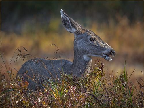 37 - Mule Deer In Morning Light