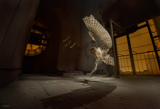 Barn Owl (Tyto alba) hunting at a church bell tower
