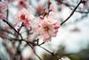 Almond Blossoms (moaan) Tags: kobe hyogo japan jp almond blossom almondblossom blossoming inblossom dof depthoffield veryshallowdepthoffield bokeh bokehphotography leica leicaphotography mp type240 50mm f20 dr summicron summicron50mmf20dr leicasummicron50mmf20dr utata 2018