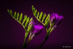 Purple freesia (Magda Banach) Tags: canon canon80d freesia sigma150mmf28apomacrodghsm buds colors flora flower flowers green macro nature plants purple