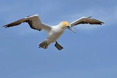 Australasian Gannet BIF_6825 (Morus serrator) (Neil H Mansfield) Tags: morusserrator australasiangannet gannet victoria australia sea flight rookery colony