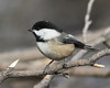 Black-capped Chickadee,  Poecile atricapillus (jlcummins - Washington State) Tags: yakimacounty yakimaareaarboretum washingtonstate wildlife fauna bird poecileatricapillus