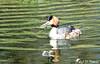 Miam la bonne petite perche ! (jean-daniel david) Tags: oiseau oiseaudeau grèbe grèbehuppé eau réservenaturelle reflet ruisseau yverdonlesbains canal
