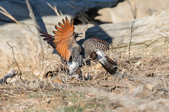 Male Northern Flickers battle