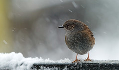 Gartenbraunelle (otto.hitzegrad) Tags: vogel gartenbraunelle schnee winter