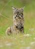 Livermore_SGP_032518_140 (kwongphotography) Tags: livermore ca calif wildlife wildlifephotography nature naturephotography nikonnofilter nikonlovers nikonusa bobcat cat feline unitedstates