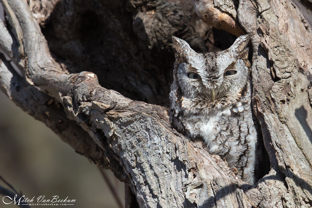 Good Things Come To Those Who Wait (Eastern Screech Owl)