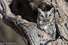 Good Things Come To Those Who Wait (Eastern Screech Owl) (Mitch Vanbeekum Photography) Tags: easternscreechowl megascopsasio greymorph grey gray eastern screech owl mitchvanbeekum mitchvanbeekumcom canoneos1dx canon14teleconvertermkiii canonef500mmf4lisiiusm tree perched hole