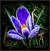 Natural Wonder (dimaruss34) Tags: newyork brooklyn dmitriyfomenko image flower crocus