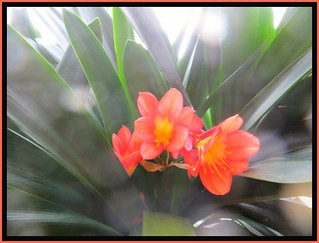 Clivia Center Blooms - EXPLORED #54 Front Pg.