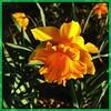 Morning sun. #collegepark #maryland #iPhone #commute #sidewalk #roadside #iPhonemacro #macro  #flower #flowersofinstagram (Kindle Girl) Tags: roadside collegepark maryland iphone commute sidewalk iphonemacro macro flower flowersofinstagram
