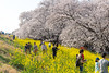 熊谷桜堤 Kumagaya Long Bank of Cherry Blossoms (junjunohaoha) Tags: nikon d610 sakura cherryblossoms cherryblossom 桜 埼玉 日本 熊谷 saitama kumagaya japan
