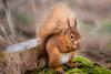 Squirrel Nutkins (Paul A Wiles) Tags: red squirrel brownseaisland sciurus vulgaris pwiles1968