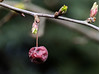 one comes, the other goes (Rainer ❏) Tags: zierapfel malushybride knospen bud rot red nature frühling springtime unsergarten natur color makro macro xt2 rainer❏