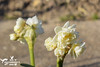 Spring Blossom- Narcissus (SLHPhotography1990) Tags: spring blossom flowers colour garden gardening bulbs progress variety daffodil narcissus