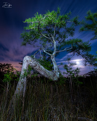 Ancient Dwarf (J.Coffman Photography) Tags: full moon z tree everglades season preserve state fl sunshine wilderness hiking hike d810 nikon clouds marsh forest states united florida big cypress national park landscape trees swamp dry
