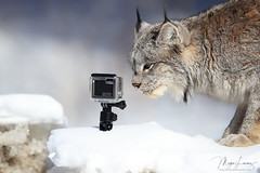 Lynx Selfie (Megan Lorenz) Tags: gopro selfie canadalynx lynx feline cat wildcat animal mammal snow winter nature wildlife wild wildanimals ontario northernontario canada mlorenz meganlorenz