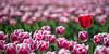stranger in the field (Just me, Aline) Tags: 201704 50mm alinevanweert goereeoverflakkee tulp tulpen netherlands holland nederland tullips spring lente bloemen flowers flower bloem bolgewas rood red purple paars light licht