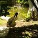 Australian White Ibis 3