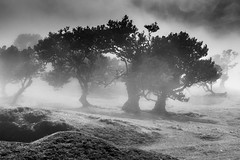 Prophecy (**capture the essential**) Tags: 2017 fog insel island laurel lorbeer madeira mist nebel pauldaserralowlands sonye18200mmoss sonynex7 wetter wolkenclouds foggy