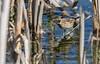 9Q6A8618 (2) (Alinbidford) Tags: alancurtis alinbidford brandonmarsh nature reedbunting wildbirds wildlife