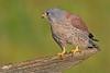 Kestrel  M (drbut) Tags: kestrel falcotinnunculus birdofprey raptor falcon bird birds nature wildlife avian canonef500f4lisusm