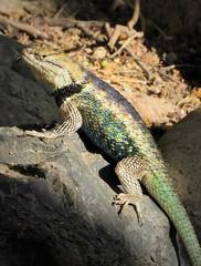 Purple-backed Desert Spiny Lizard (Sceloporus magister ssp. magister) (Ruby 2417) Tags: spiny lizard purple reptile wildlife nature tucson arizona