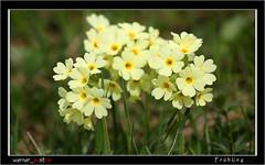 04-18 3426_Frühling (werner_austria) Tags: frühling spring blumen himmelschlüssel bunt farben