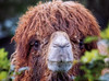 mop top (cherryspicks (off)) Tags: animal camel nature moptop