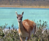"""Animal says """"hello"""" by the sea in Patagonia (jillrowlandwv) Tags: lake mountains forest jungle tree trees meadow travel patagonia argentina chile southamerica tour tourist tourism outdoors hiking mountain wildlife penguins birds sea water reflection glacier scenery landscape nature naturalbeauty natural canon canonphotography canonaddicts canonphoto canonphotos bird snow penguin"""