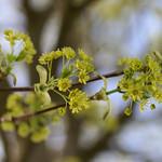 Maple blossom thumbnail
