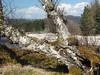 P4150070 (jameskendall2) Tags: glen feshie cairngormnationalpark cairngorms spring riverfeshie trees forest beech birch wild cattle