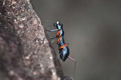 Tricondyla sp. (GeeC) Tags: animalia arthropoda beetles cambodia carabidae caraboidea cicindelinae coleoptera groundbeetles insecta kohkongprovince nature tatai tigerbeetles tricondyla