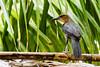 El Talingo, Zanate mexicano o Clarinero (carlosbenju) Tags: naturaleza nature verde panama pajaros pajaro bird birds sea mar ave