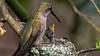 Hummingbird Feeding Young (photosauraus rex) Tags: bird nest anna hummingbird hummingbirdyoung vancouver bc canada hummingbirdnest calypteanna