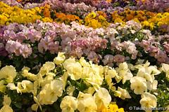 Pansy Flowerbed (takashi_matsumura) Tags: pansy flowerbed asukayama park oji kitaku tokyo japan nikon d5300 flora spring ngc afp dx nikkor 1020mm f4556g vr